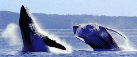 Ласки? Пожалуйста! Например, горбатые киты специально отправляются в плавание по Тихому океану исключительно семейными парами (если таковая имеется, конечно)... А в процессе таких вот секс-заплывов сильно шлепают друг друга плавниками и от этого возбуждаются...